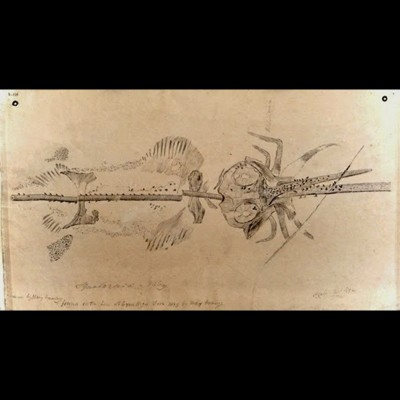 Mary Anning's sweet drawing of Squaloraja, a Jurassic aged ratfish fossil she discovered on the shores of Lyme Regis.