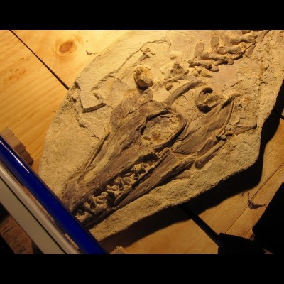 Ray talks about this particular Platecarpus mosasaur fossil at the Los Angeles County Museum of Natural History in this episode.