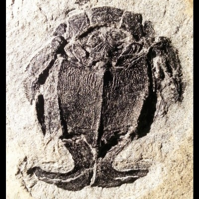 A 390 million year old bull male Microbrachius placoderm from the Orkney Islands, UK, showing it paired claspers (like feet) at the bottom of the trunk armour.