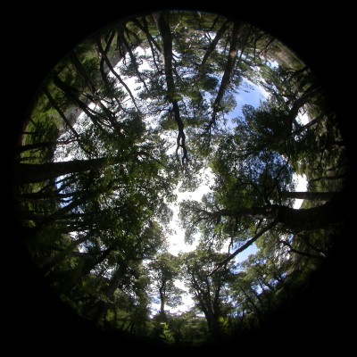 Hermispherical photograph of a modern forest in Argentina from which canopy cover is measured